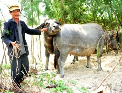 Breeding buffalos for tourism